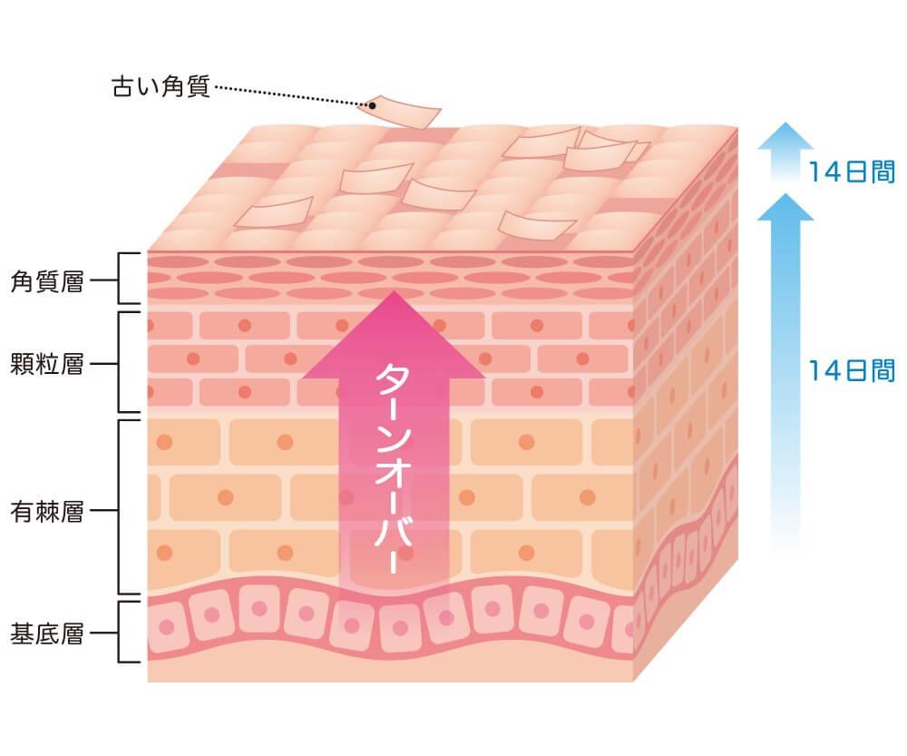 表皮の中では新しい細胞が日々産まれています。産まれた細胞は様々な役割を果たしながら、徐々に皮膚の表面に上がっていき、最後には角層から身体の外へと排出されます。